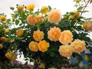На официальном сайте питомника Дэвида Остина сорт Golden Celebration представлен в штамбовой форме, что доказывает высокую пластичность этой розы.
