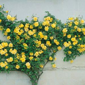 Роза Golden Showers формирует красивый густооблиственный куст и хорошо подходит для вертикального озеленения.
