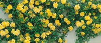 Плетистая роза Golden Showers: описание и отзывы