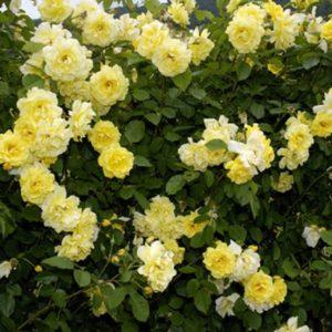 Плетистая роза Goldstern – один из самых популярных сортов жёлтой розы в России.