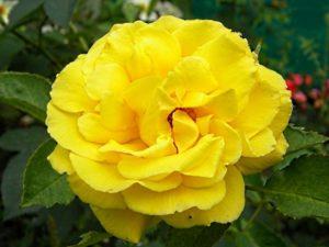 Цветки розы Goldstern имеют чашевидную форму, в полном роспуске показывают серединку с красноватыми тычинками.