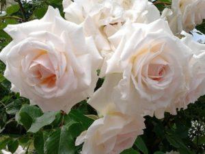 По мере роспуска форма цветка розы Swan Lake меняется с бокаловидной на чашевидную.