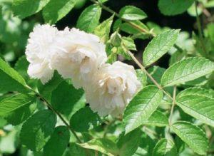 Сорта группы Гротендорст, к которой относится роза White Grootendorst, иначе называют «гвоздичными розами».