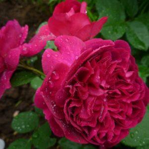 Роза William Sheakespeare 2000 обладает старинной формой цветка, но неплохо противостоит повреждению дождём, в отличие от многих других «остинок».