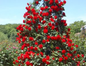 Климат Сибири накладывает некоторые ограничения на выбор сортов плетистых роз.
