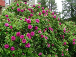 Парковые розы формируют густооблиственный плотный куст и используются в групповых и одиночных посадках.