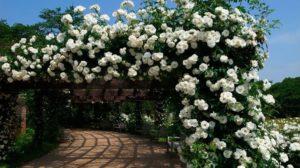 Перголы, обвитые плетистыми розами – эффектный элемент ландшафтного дизайна.