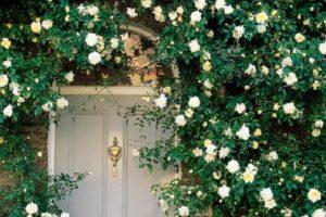 Сорт плетистой розы Alberic Barbier