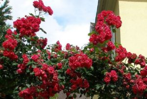 Плетистая роза, сорт «Блейз Супериор» (Blaze Superior).