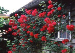 Плетистая роза «Paul's Scarlet Climber».