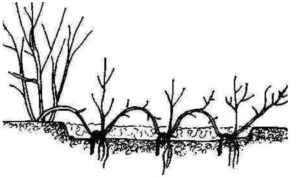 При размножении горизонтальными отводками, из одного побега можно получить несколько укорененных отростков.