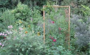 Густо разросшиеся кусты угнетают плетистую розу.