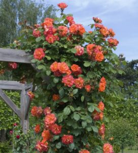 Необычайно эффектная роза «Вестернленд» во время длительного цветения выполняет лидирующую декоративную роль в саду.