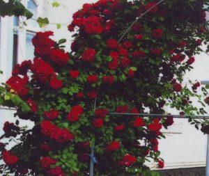 Плетистая роза «Дебют».