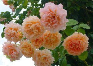 Плетистая роза, сорт «Полька».