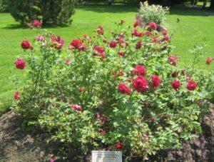 Роза парковая, сорт «Катбер Грант».