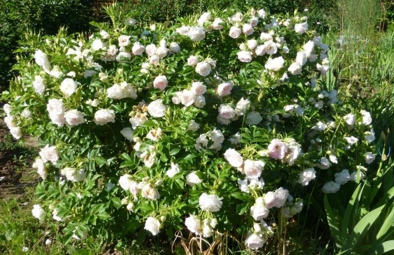 Роза парковая «Луиза»