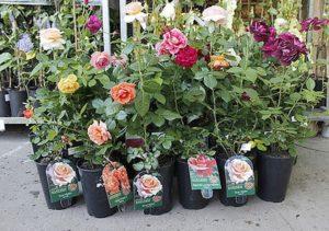Розы с закрытой корневой системой высаживают в любое время года.
