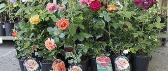 Посадка роз с закрытой корневой системой весной, осенью