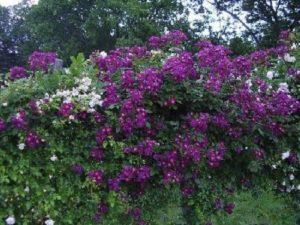 Плетистая роза «Виолетт». Если смотреть на розу «Виолетт» издалека, ее не трудно перепутать с цветущей глицинией