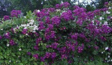 """Плетистая роза """"Виолетт"""". Если смотреть на розу «Виолетт» издалека, ее не трудно перепутать с цветущей глицинией"""
