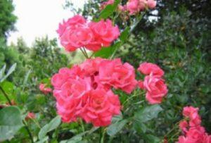 Плетистая роза «Девичьи грезы».