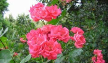 Роза плетистая «Девичьи Грёзы»