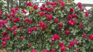 Роза «Эрик Таберли».