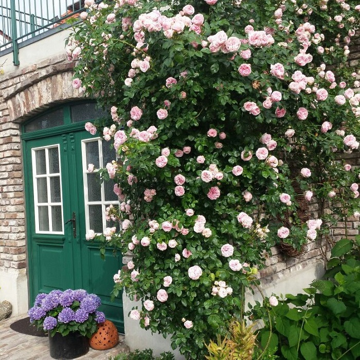 Роза «Жиардина» - Giardina.