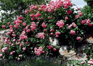 Сорт плетистой розы «Хендель – Handel».