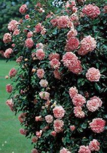 «Клайминг Кимоно» в регионах с теплым климатом цветет 6 – 9 месяцев.