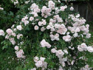 Плетистая роза Нью. Сорт плетистой розы «New Dawn»