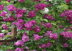 Во все времена селекционеры пытались добиться необычайной окраски роз. «Perennial Blue» один из таких сортов. И, хотя его окраска, скорее сиреневая, чем синяя, при определенном освещении, цветки выглядят голубоватыми.