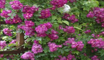 Роза плетистая «Перинниал Блу»