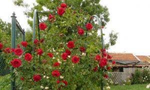 Плетистая роза, сорт «Симпатия».