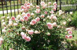 Английская роза «Абрахам Дерби» (Abraham Darby).