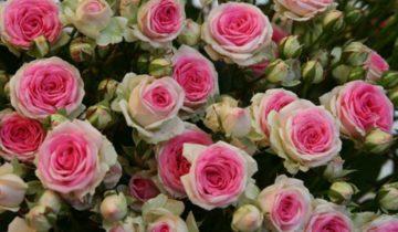 Лепестки «Эден Роуз» имеют разную интенсивность оттенков: от розово-лавандового в центре до белого, и даже салатового по краям бутона