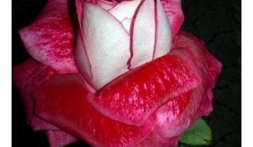 Бархатистые лепестки бокаловидного бутона «Седой Дамы» с лицевой стороны окрашены в темно-малиновый цвет, а с тыльной – в серебристо-белый.