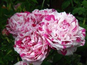 Цветет «Фердинанд Пичард» одиночными розочками или кистями до 5 бутонов. По мере распускания контрастность окраски усиливается.
