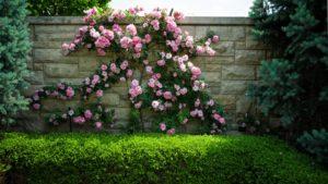 Розами Climber декорируют изгороди, стены, вертикальные садовые постройки.
