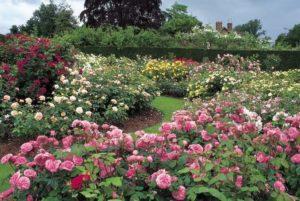 Благодаря ежегодной формирующей обрезке удается сохранить декоративность посадок парковых роз на протяжении десятилетий.