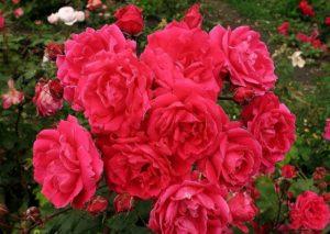 Благодаря бахромчатым лепесткам розочки «Джон Франклин» похожи на цветки красной гвоздики.
