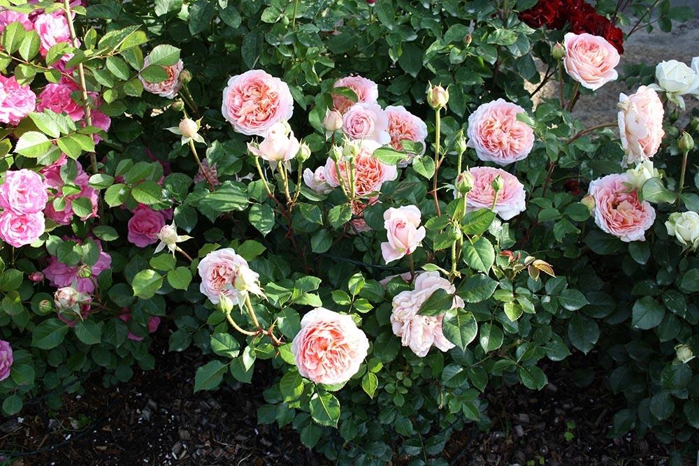 Роза парковая Abraham Darby