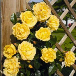 Желтые цветки розы Dukat тонко гармонируют с темно-зеленой глянцевой листвой. Сорт подходит для обрамления декоративных опор и перекрытий любого типа.