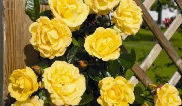 Роза плетистая Dukat