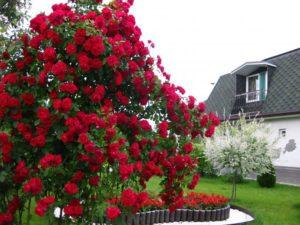 Хорошая освещённость стимулирует раннее цветение розы Baikal.