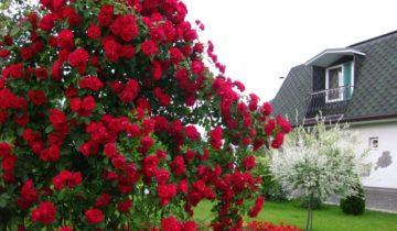 Плетистая роза Байкал (Baikal): описание и использование в саду