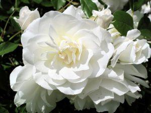 Цветущая роза Blanc Double de Coubertраспространяет вокруг себя прекрасный аромат в радиусе несколько метров.