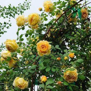 В собственном саду эксперта А. Степанова роза Golden Celebration легко преодолела 2-метровую «планку».