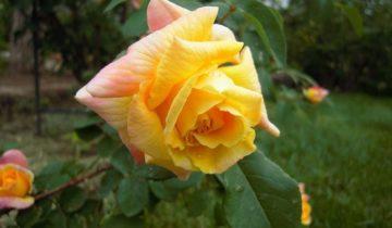 Плетистая роза Golden Parfum: чего ожидать от саженца в коробочке?